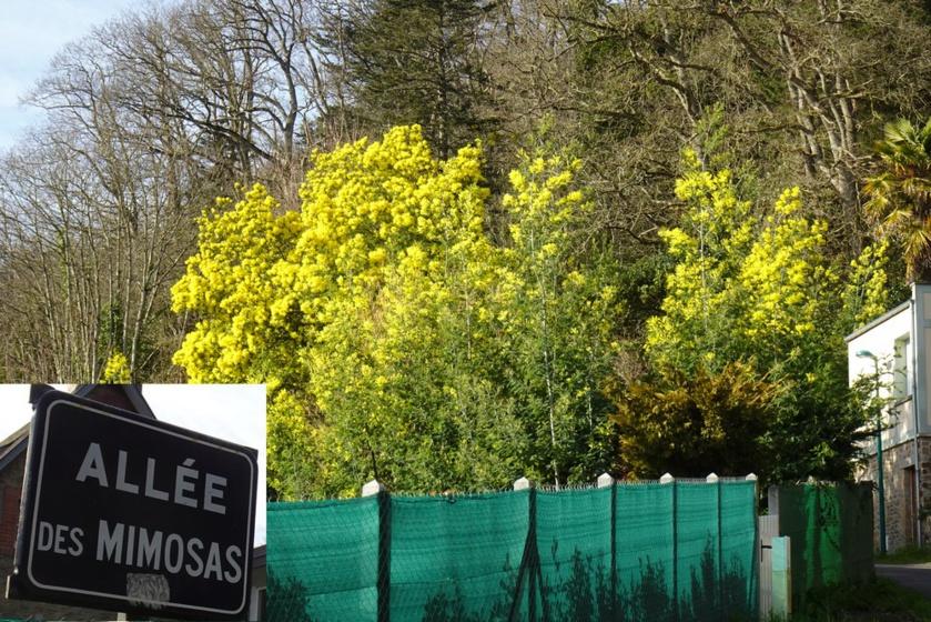 Balade mimosa à Saint-Jean-le-Thomas