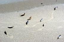 Les phoques dans la baie du Mont St Michel
