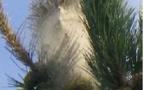 Alerte ! la chenille processionnaire du pin envahit St Jean le Thomas
